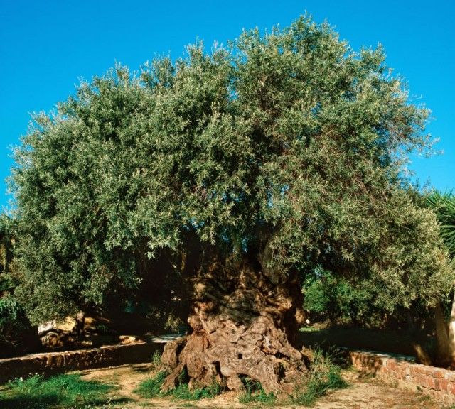 The Olive tree of Vouves. Crete