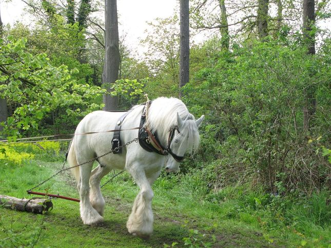 Beautiful White Shire Horse