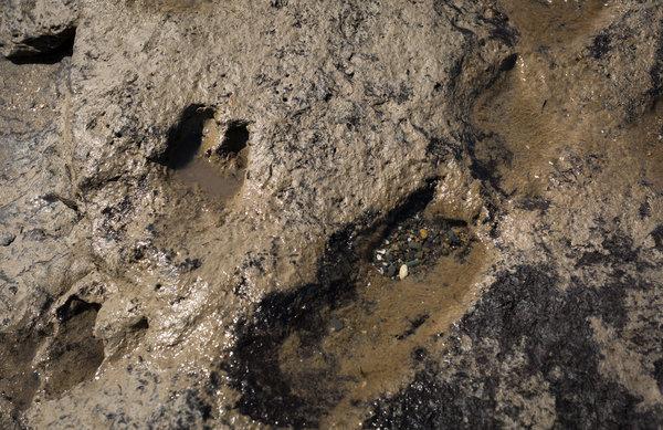 Ancient animal footprints. Borth Wales
