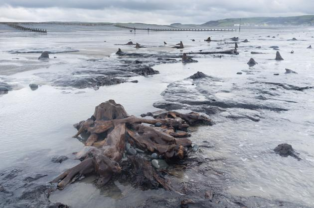 Ancient Forest exposed at Borth