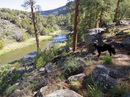 Big Ponderosas along the Rio Grande
