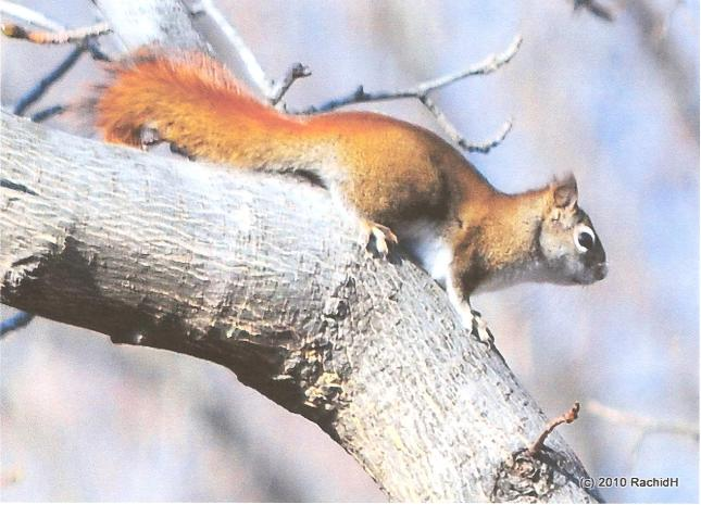 Rachid Squirrel (5)