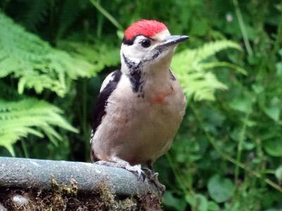 100615-woodpecker-05