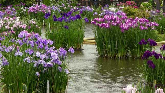 Japanese Iris Garden