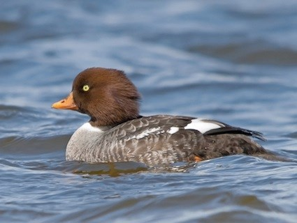 golden-eye-duck
