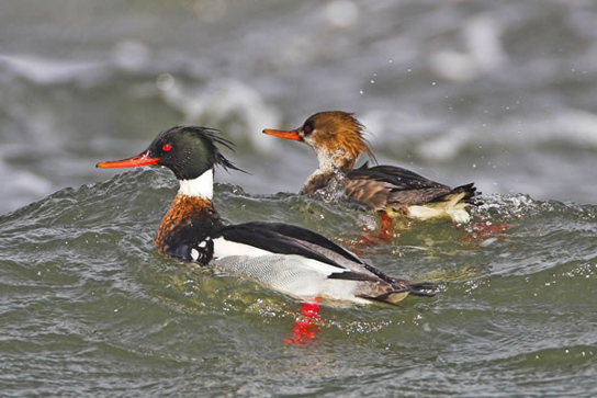 red-breasted-merganser