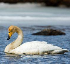 whopper-swan