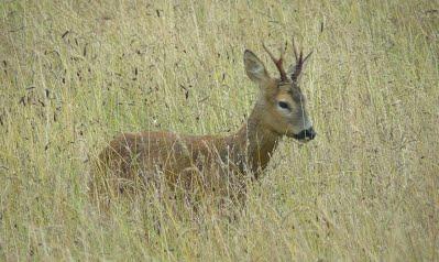 young-deer